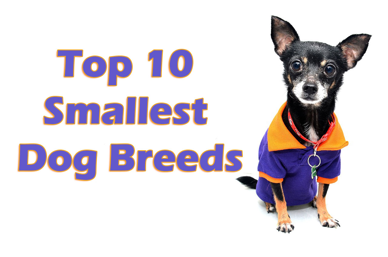 Small Fast Dog Breed